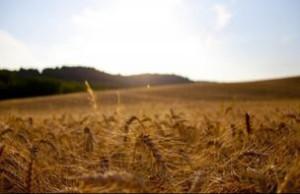 В Томске изобрели способ получать большой урожай во время засухи