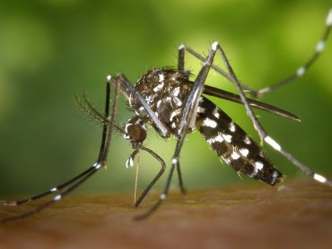 big-preview-aedes_albopictus_1_1407643690