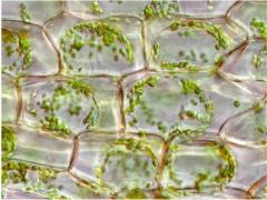 Растительные клетки в искусственном 3D-каркасе вьются, как лоза