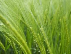 Исследование засухоустойчивости пшеницы башкирских ученых удостоено гранта в 1 млн рублей