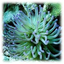 Из белка актиний получен гидрогель повышенной прочности