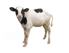 Российские животноводы занялись пересадкой эмбрионов КРС