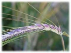 Ученые создадут особые сорта пшеницы и ячменя для Красноярского края
