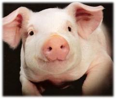 CRISPR-терапия вылечила миодистрофию Дюшенна у свиней