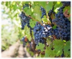 Ученые приблизились к разгадке тайны идеального винограда