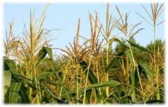 Наука о растениях от Bayer Crop Science: в тренде редактирование генома и короткие растения кукурузы