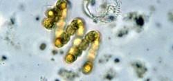 Цианобактерии можно использовать для производства химикатов