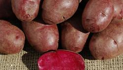 Американские биологи создали фиолетовую «лечебную» картошку