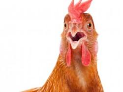 Ключевой элемент генома курицы — расшифрован
