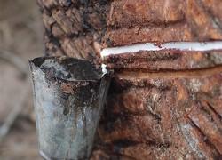 Откуда каучуковое дерево берёт каучук?