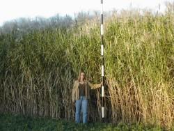 В Украине начали выращивать «слоновую траву»