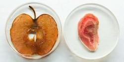 Канадским биологам удалось вырастить пригодное для трансплантации человеческое ухо из яблока