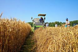 Через пять лет российская пшеница, устойчивая к ветру, займет 10 млн га полей