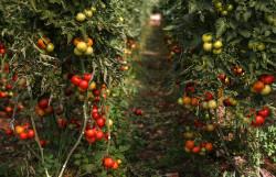Астраханские селекционеры вывели гибриды овощей «тыквопат» и «кабаксон» со вкусом ореха