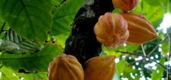 Секвенирован геном грибка какао
