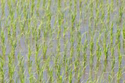 РВК обогатится на переработке рисовой шелухи