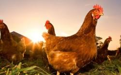 В Сибири может появиться селекционный центр по птицеводству