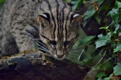 Как биотехнологии могут спасти диких кошек