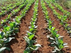Гены, отвечающие за фотосинтез, способны повышать урожайность
