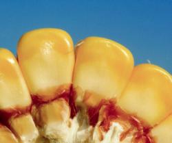 Генетики «воскресили» кукурузу возрастом в пять тысяч лет