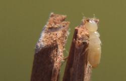 Японские генетики разгадали «эликсир молодости» королев термитов