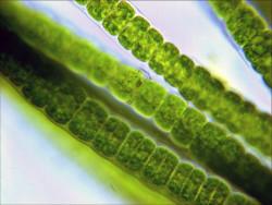 Ученые из Японии исследуют возможность производства низкозатратного топлива из водорослей