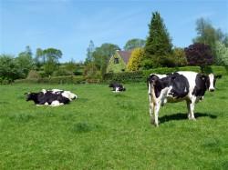 Татарских коров улучшат по-ирландски