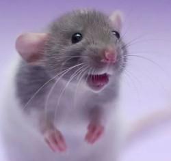 ГК «Содружество» испытывает ГМО-шрот на крысах