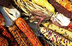Новые сорта ГМО-кукурузы собираются культивировать в Евросоюзе