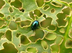 Новосибирские биологи выяснили, как вредители растений защищаются от бактерий