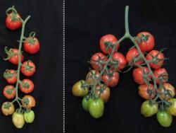 Как получить двойной урожай помидоров