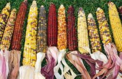 Усиление контроля за распространением ГМО снижает рентабельность российских производителей кормов – эксперт