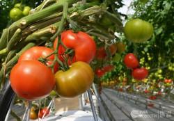 Биологи открыли ген, делающий помидоры большими