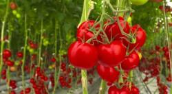 Томатный парфюм помог защитить растения от засухи и бактерий