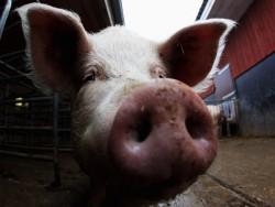 Китайские ученые вырастили обезжиренных поросят с генами мышей