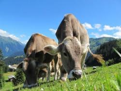 Парниковые коровы: даже если коровы выйдут с ферм на пастбища, уровень парниковых газов это не снизит