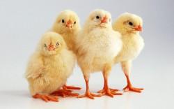 «Челны-Бройлер» подвели итоги экспериментального ввода рыжикового масла в рацион питания цыплят-бройлеров