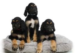 Биологи повторно клонировали первого клона собаки