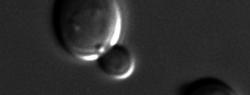 Дрожжи оказались терминаторами для прионных белков