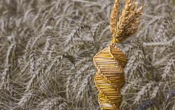 Российские ученые выводят устойчивую к прорастанию пшеницу