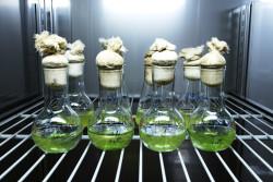 Российские ученые обнаружили уникальный вид водорослей-врачей
