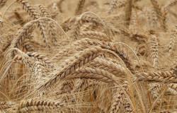 Испанские биотехнологи разработали низкоглютеновую пшеницу