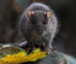 Шотландские ученые придумали инновационный способ борьбы с городскими грызунами
