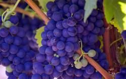 Экстракт виноградной косточки может эффективно использоваться при выращивании креветок