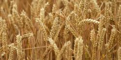 Глобальное потепление сделает пшеницу более урожайной, но менее вкусной, а животных — мельче