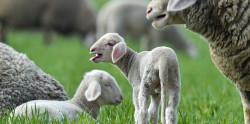 Ученые собираются выращивать органы для трансплантации в овцах