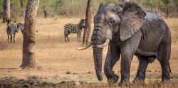 Биологи секвенировали геном мамонтов и мастодонтов