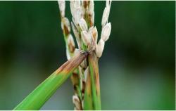 Найден способ спасти рис от опасного грибка