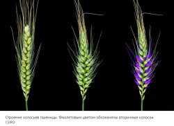 Найден отвечающий за формирование сложного колоса пшеницы ген