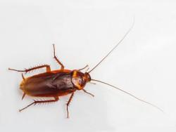 Зачем в Китае ежегодно выращивают миллиарды тараканов?